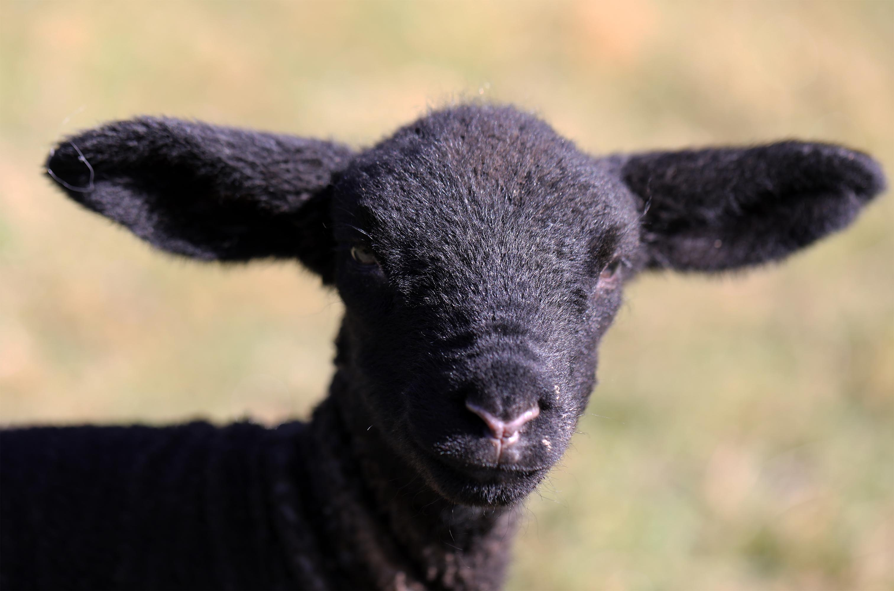 Black spring lamb close up