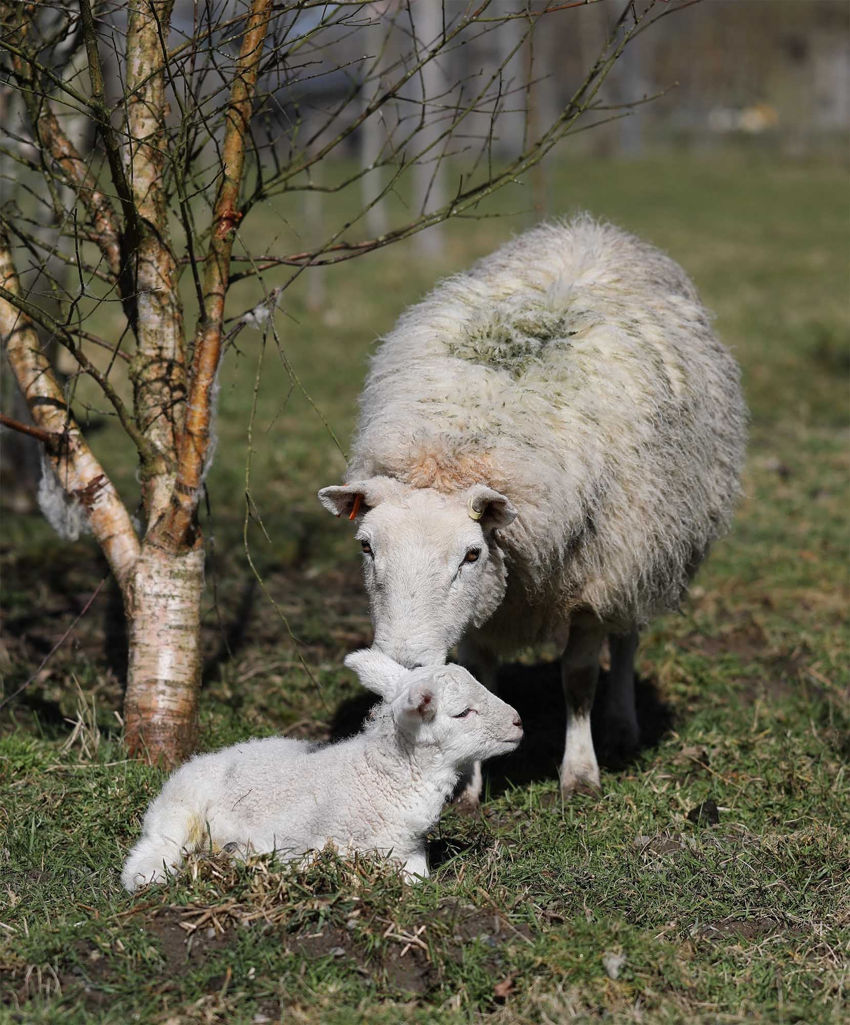 Ewe and lamb in the field